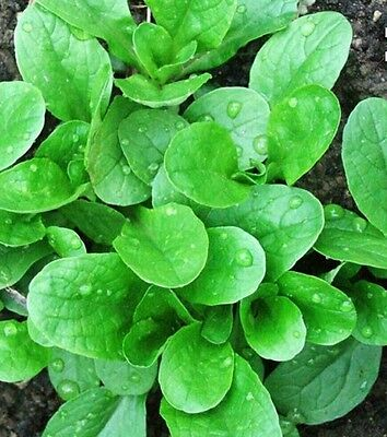 500 CORN SALAD( MACHE, LAMB'S LETTUCE) SEEDS-Open Pollinated-NON GMO-Organic
