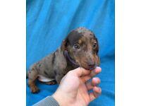 Miniature dachshund puppies ready to go!