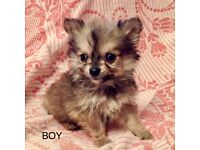 Maltese Cross Puppy Boy