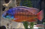 BABY African Cichlid - 1 inch - Blue Johanni and Red Empress