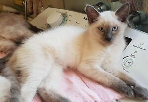 Pure bred Ragdoll Kittens only 1 left male lilac