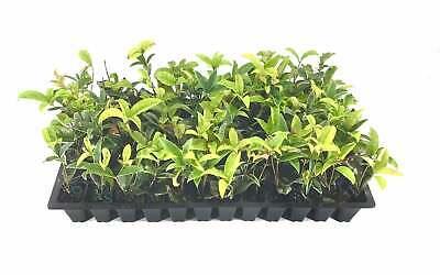 Fragrant Tea Olive - Live Plants - Osmanthus Fragrans - Fully Rooted Live Plants Fragrant Tea Olive