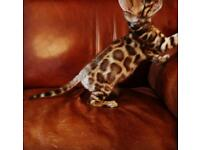 Exclusive Tica Bengal Kittens