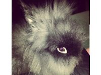Dwarf Rabbit for Sale