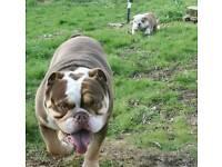 Bulldog boy chocolate fawn kc registered stunning