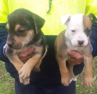Border collie x puppys