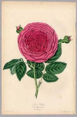 Rosen-Rose-Blume-Botanik-Rosa - Lithographie 1850