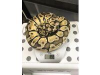 Male Pastel Enchi Royal Python