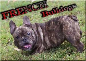 FRENCH BULLDOG PUPPIES PEDIGREE PUREBRED Anna Bay Port Stephens Area Preview