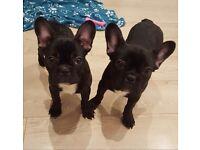 Beautiful French Bulldog Puppy Girls