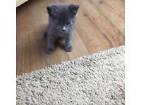 Playful blue kittens! RAGDOLL X