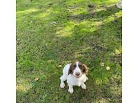 Beautiful female English springer spaniel puppy for sale