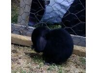 Black Mini lop x bunnies very friendly and inquisitive. handled day Ready to leave.
