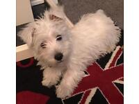 14 week old boy Westie puppy