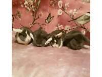 Beautiful mini lop babies