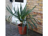 ESTABLISHED HARDY TROPICAL LOOKING YUCCA PLANT 110CMS TALL, CAN DELIVER