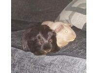2 male guinea pigs both 9 months old.