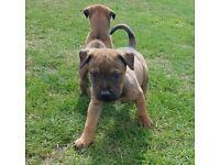 Male german shepherd puppys for sale