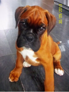 WTB Boxer Puppy Lilydale Yarra Ranges Preview