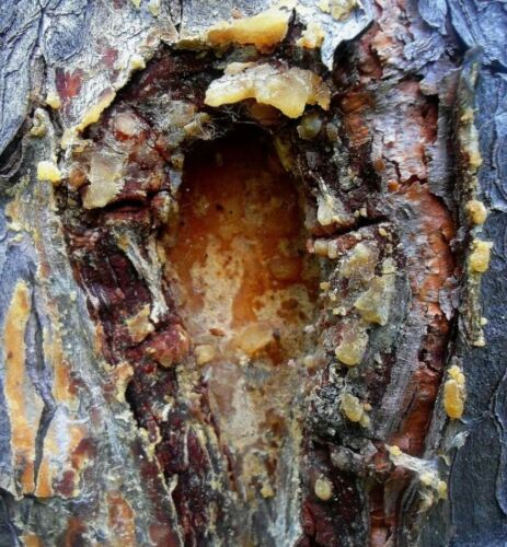 Raw Natural Cedar Sap 200g - Pure Gum Resin Amber Fresh Wild Forest Harvest