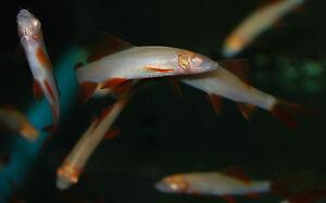 Albino red fin shark ruby shark live aquarium fish ebay Freshwater fish with red fins