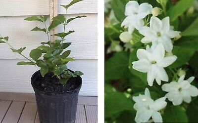 Jasmine Maid Of Orleans Plant - Very Fragrant Mature Fresh Frequent Bloom