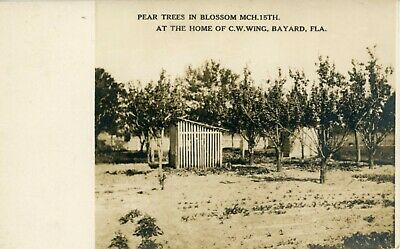 Bayward. Fla.   Home of C W Wing, Pear Trees in Bloom, c. 1910's Blooming Pear Tree