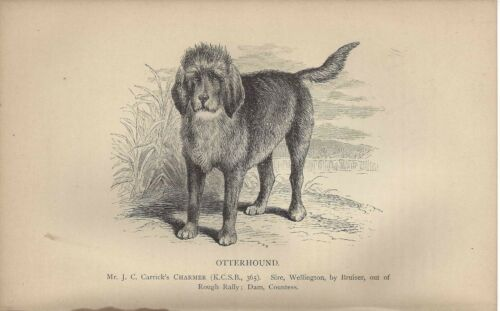 1886 Named Dog Print + Chapter UK Dalziel British Dogs OTTERHOUND
