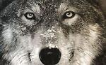 wolf-invetment