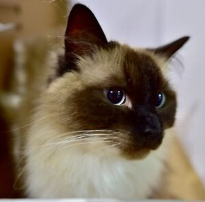 Adult ragdoll cats looking for new home Beverly Hills Hurstville Area Preview
