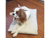 Beautiful 14 months old Cavalier King Charles dog