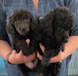 Miniature poodles boys only
