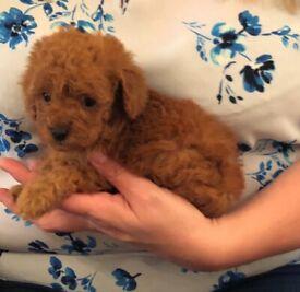 Cavalier Pups For New Homes | in Swansea | Gumtree