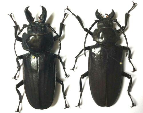 Prioninae: Hystatus javanus (Pair) Rare species - Malaysia