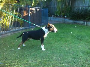 Bull terrier Cashmere Pine Rivers Area Preview