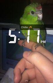 Young Hand reared Kakariki parrots