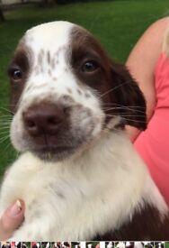 Gorgeous ESS puppy- KC Reg, great bloodlines