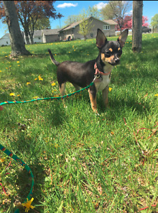 5 Month Old Chihuahua Puppy