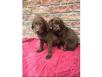 Chocolate Brown Labradors