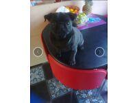 Pug black girl 17 month