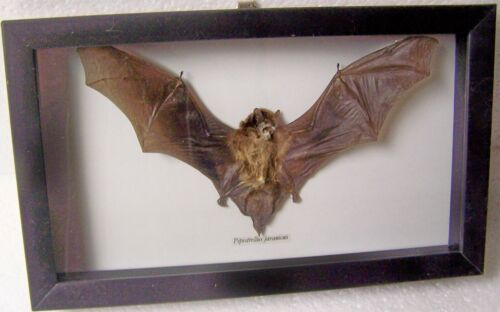 REAL DRIED BAT TAXIDERMY PIPISTRELLUS JAVANICUS IN BLACK SHADOWBOX FRAME