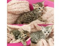 Stunning PURE, FULL SPOTTED SILVER/GOLDEN BENGAL Kittens - £700