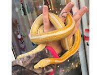 Male corn snake