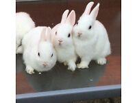 🐰Baby white Netherlands dwarf rabbits