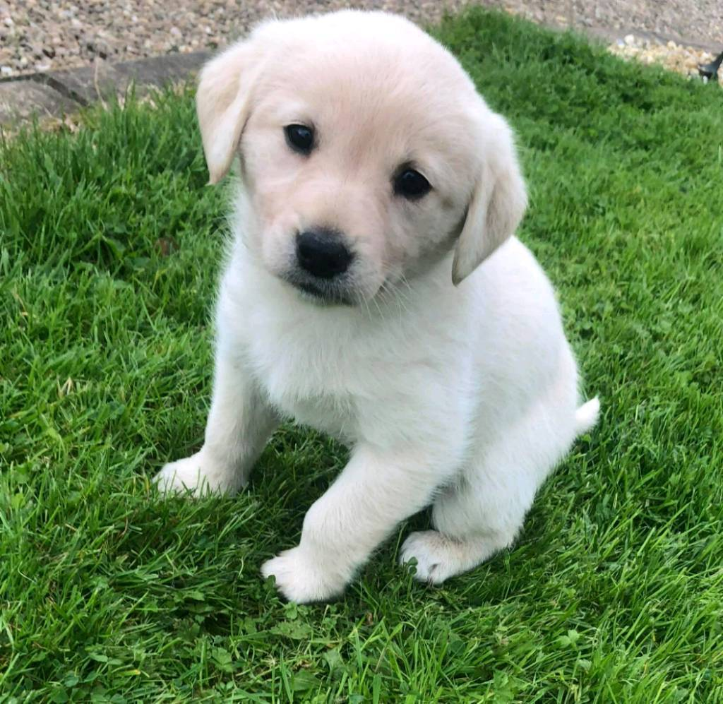 Golden Labrador Puppies For Sale In Omagh County Tyrone Gumtree