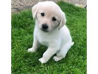 Golden labrador puppies for sale.