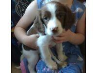 KC registered English Springer spaniel puppies.