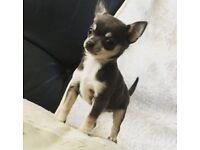 Tiny chihuahua pups