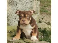 American bully pocket 🔥🔥