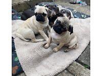 Pug boys